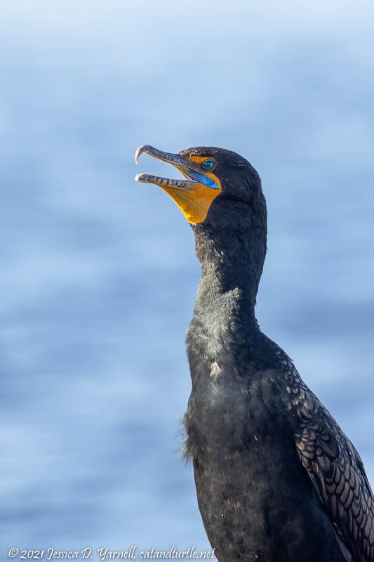 Double-crested Cormorant in Breeding Plumage