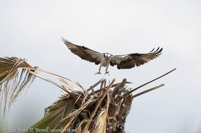 Osprey Nesting-building