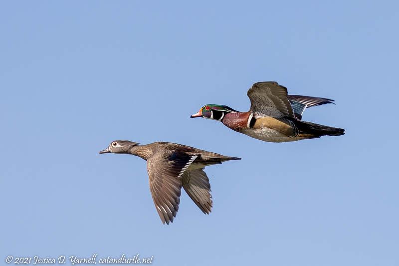 Wood Duck Pair in Flight