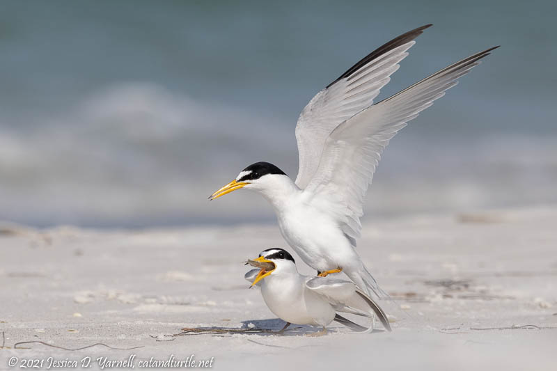 Least Terns Mating
