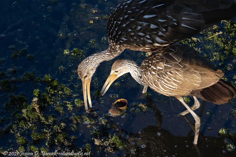 Limpkin Feeding Juvenile