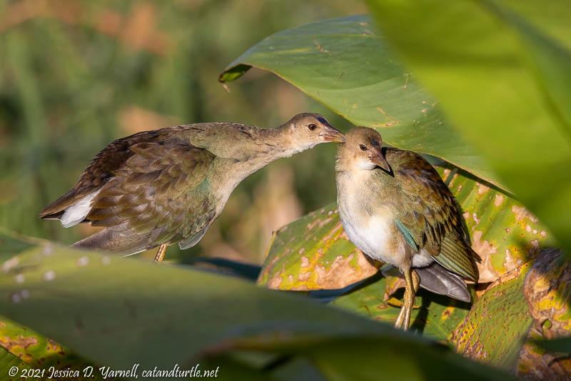 Purple Gallinule Juveniles Preening