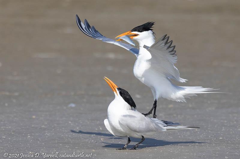 Royal Tern Fish Exchange