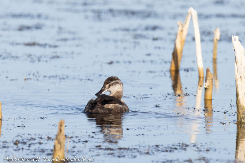 Ruddy Duck (late season)