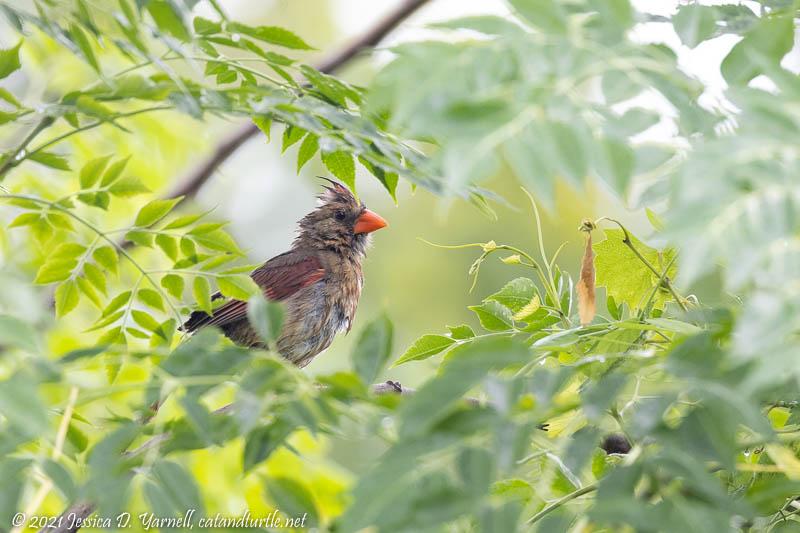 Cardinal (Adult Female)