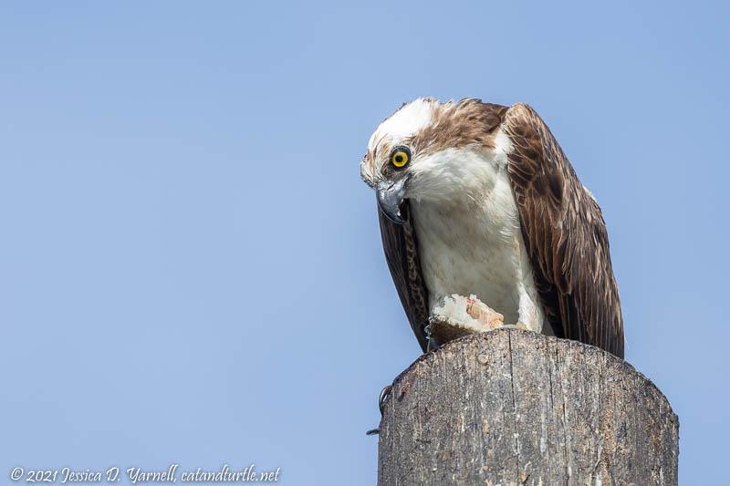 Osprey eating Breakfast