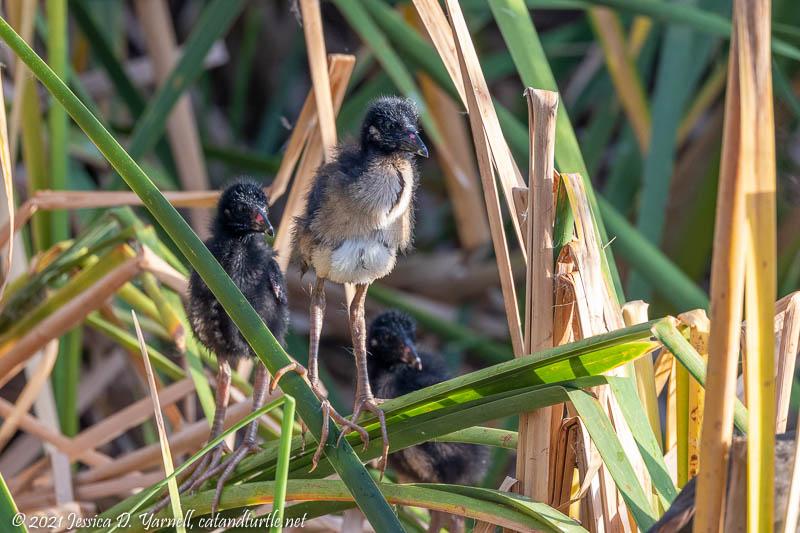 Purple Gallinule Babies