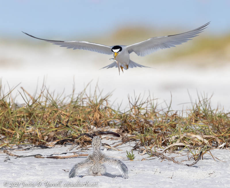 Cleared for Landing (Least Tern Feeding Chick)