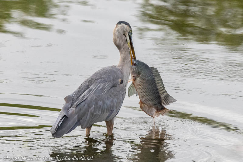 Fish Story - Great Blue Heron Grabs Giant FIsh