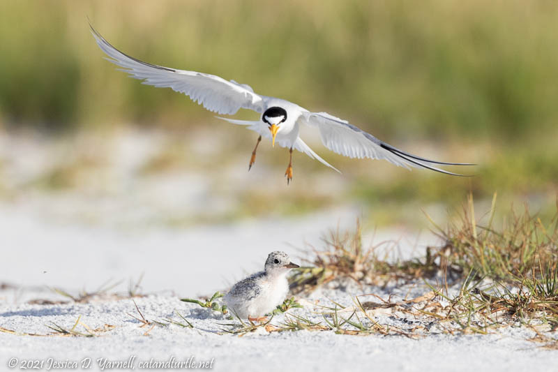 Least Tern Attacking Baby