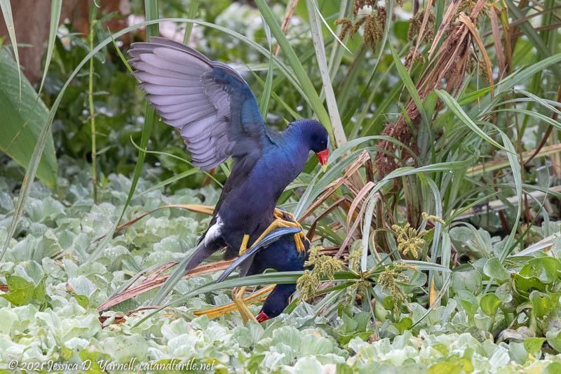 Purple Gallinules Mating