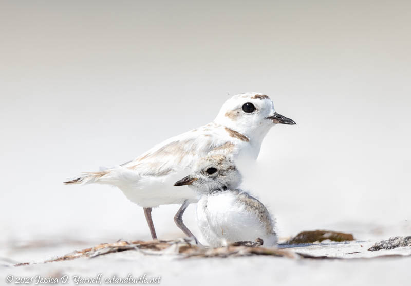 Snowy Plover Mom and Baby