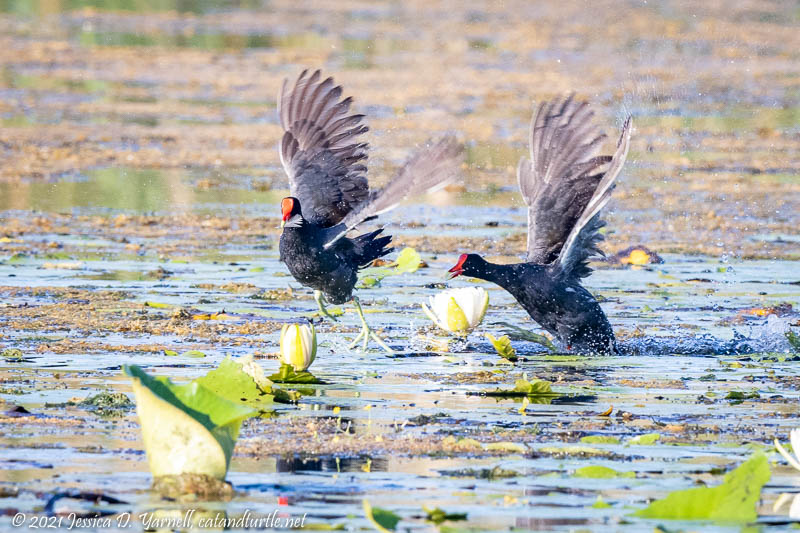 Common Gallinule Chase