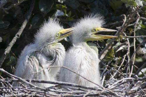 Great Egret Babies