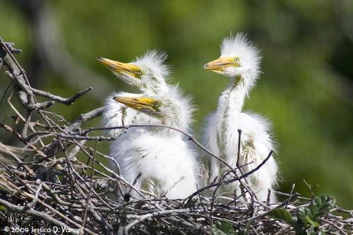 Little Great Egrets