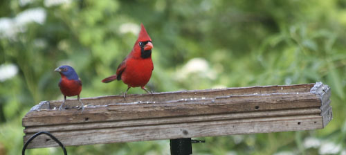 Cardinal and Painted Bunting