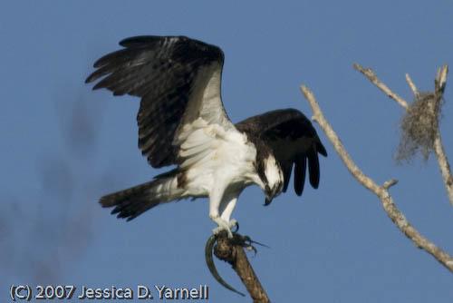 Osprey (Fish)