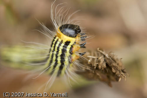 Caterpillar (Reaching)