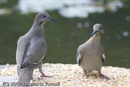 White-Winged Doves