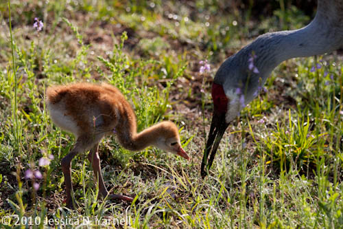Mom and Baby Sand Hill Crane