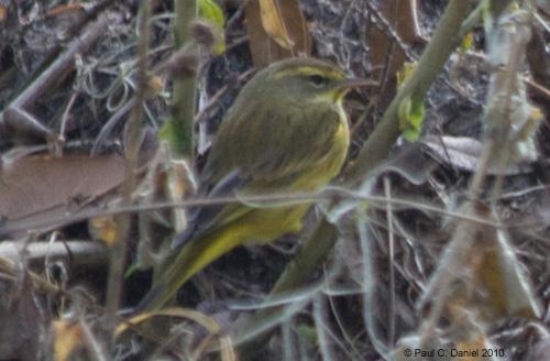 Palm Warbler, Circle B Bar Reserve