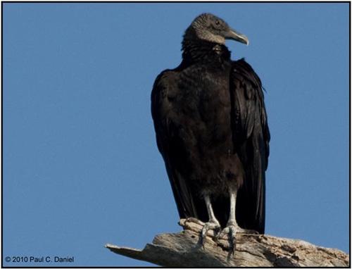 Black Vulture, Circle B Bar Reserve