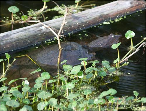 Soft-Shelled Turtle, Circle B Bar Reserve