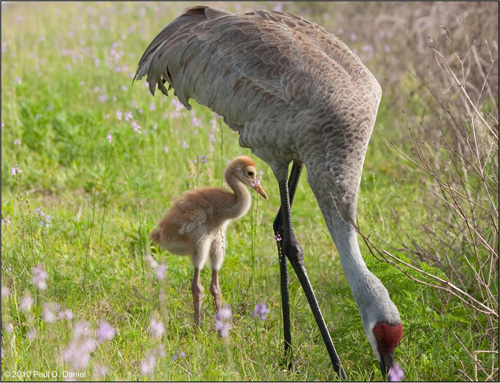Baby Sandhill Crane (approx. 3 weeks old), Circle B Bar Reserve