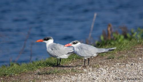 Caspian Tern, Circle B Bar Reserve