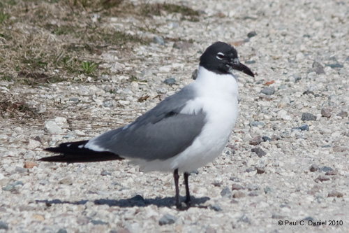 Laughing Gull, Circle B Bar Reserve