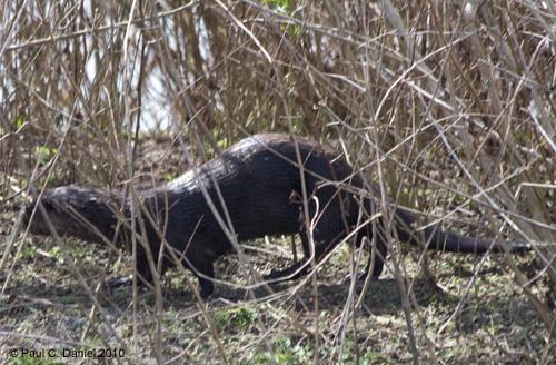 River Otter, Circle B Bar Reserve