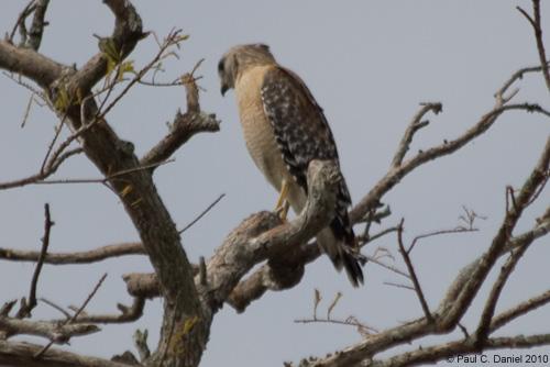Red-shouldered Hawk, Circle B Bar Reserve