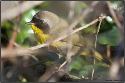 Common Yellowthroat Warbler, Circle B Bar Reserve