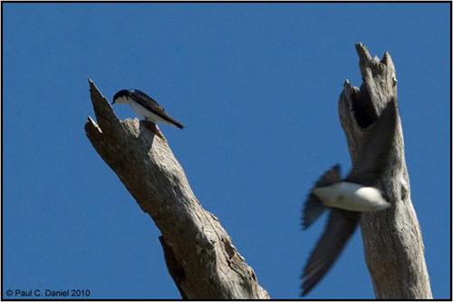 Tree Swallows, Circle B Bar Reserve - One finally landed