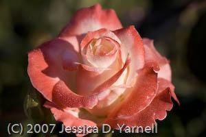 'Gemini' rose