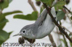 Blue-gray gnatcatchers