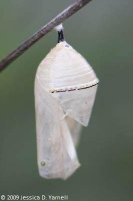 Empty chrysalis