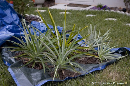 Pineapple transplant in progress