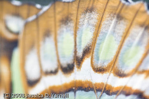 Malachite wing close-up