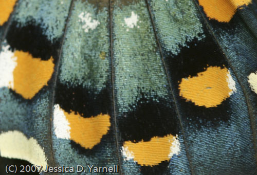 Pipevine Swallowtail (Closeup of Wing)
