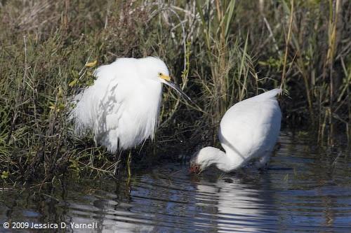 Snowy Egret and White Ibis