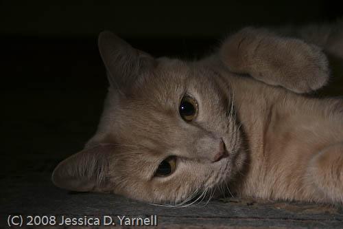 Missy, the Hostess Housecat