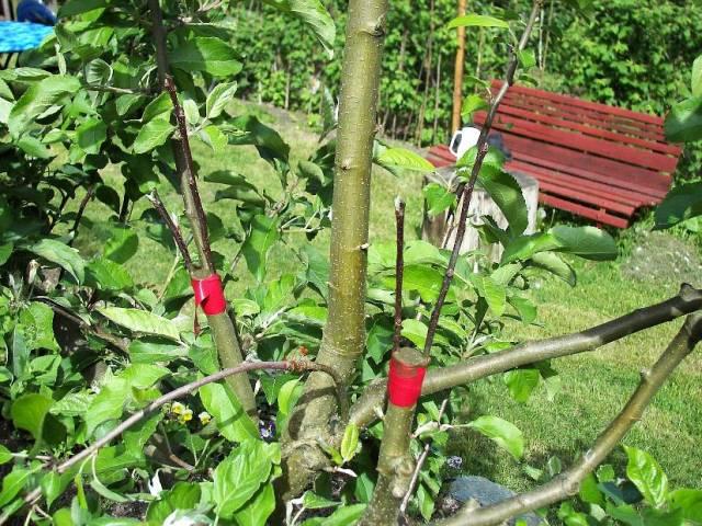 Kalemljenje voća