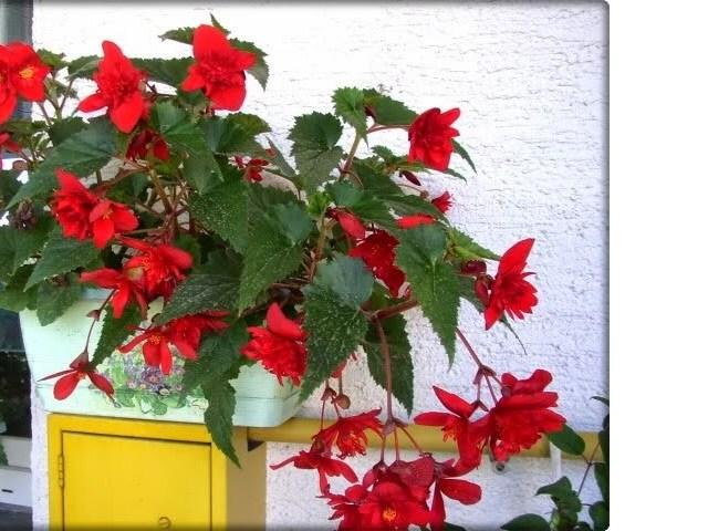 Idealna biljka za vrt i balkon: Begonija