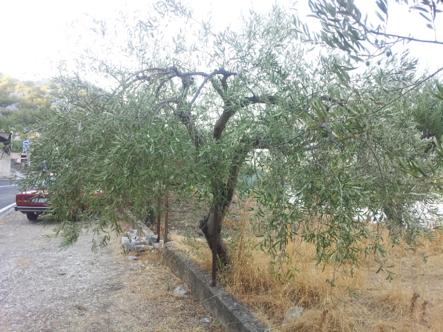 Agava (kaktus koji nakon cvjetanja umire), vječni limun i stoljetna maslina