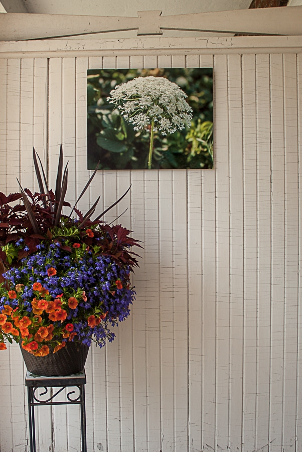photograph of Queen Anne's Lace printed on aluminum by doris lovadina-lee toronto ontario canada artist hanging on white wooden wall with a planter of flowers