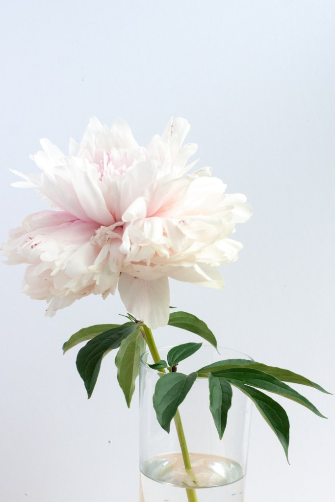 Beautiful Pale Pink Blooming Peony Flower | Gather Goods Co