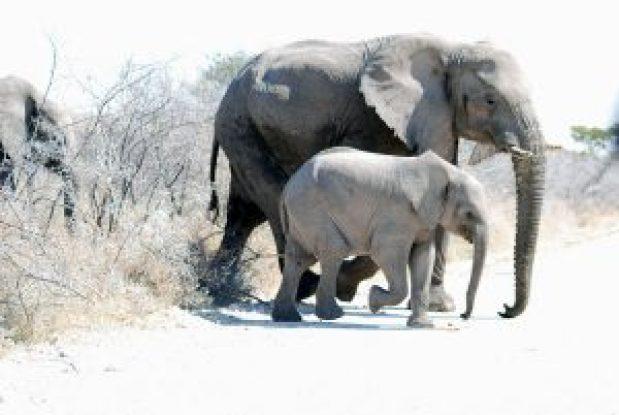 Große-Elefanten,-kleine-Ele
