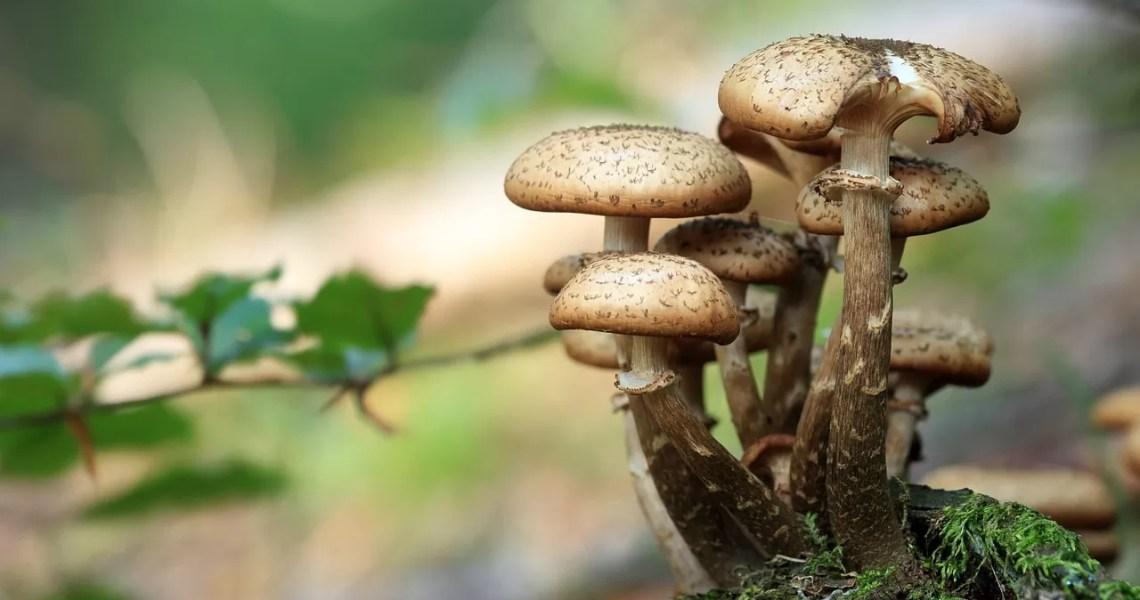 Les champignons aident à réduire la faim et à accroître le sentiment de satiété