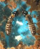 Reticulitermes speratus (credit: harvard.edu)